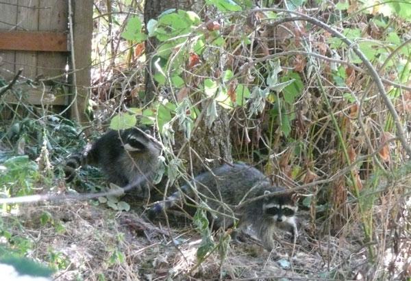 Raccoons2